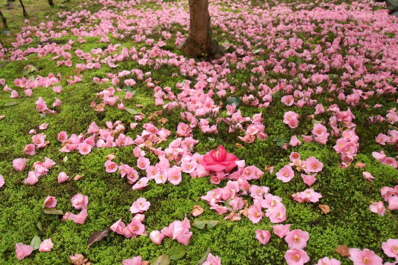 Camellia after rain #4