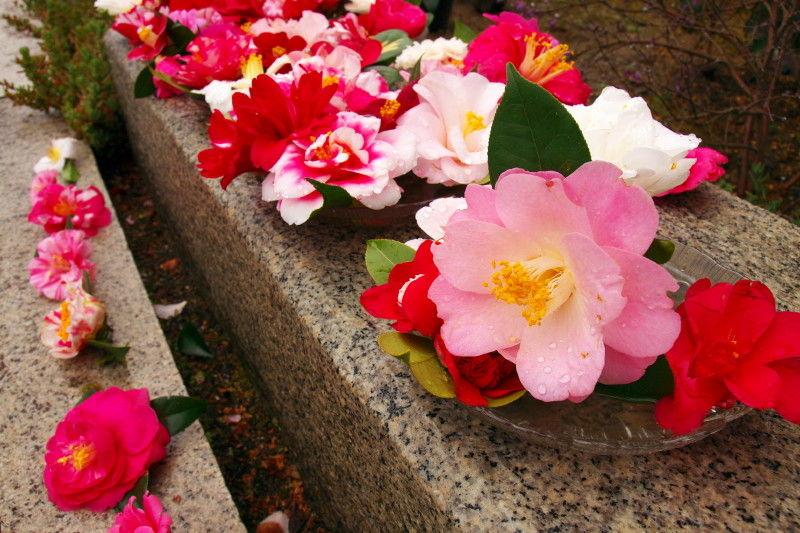 Camellia after rain #6