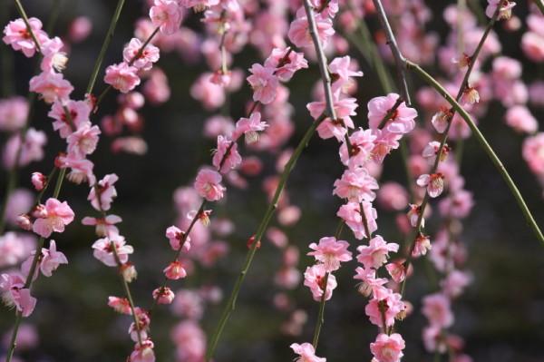 Plum blossom 2012 #2