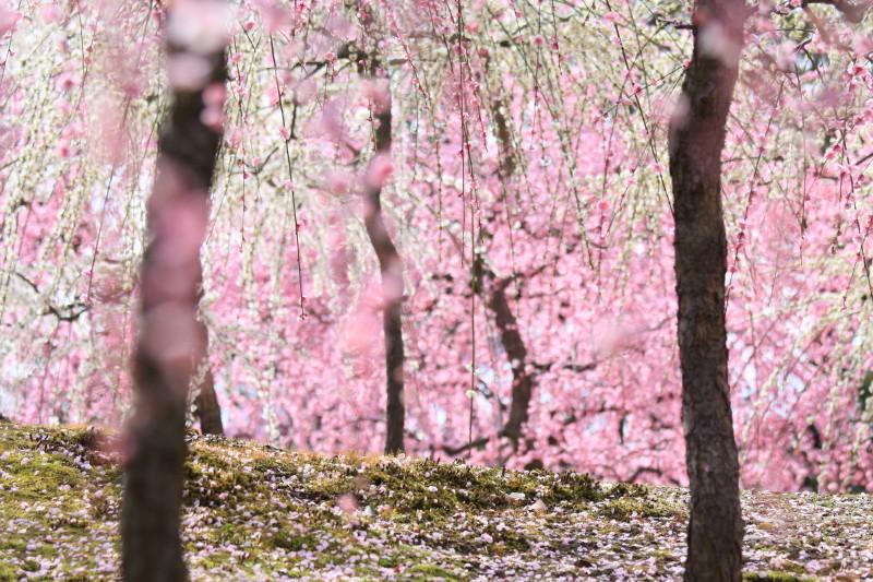 Plum blossom 2012 #3