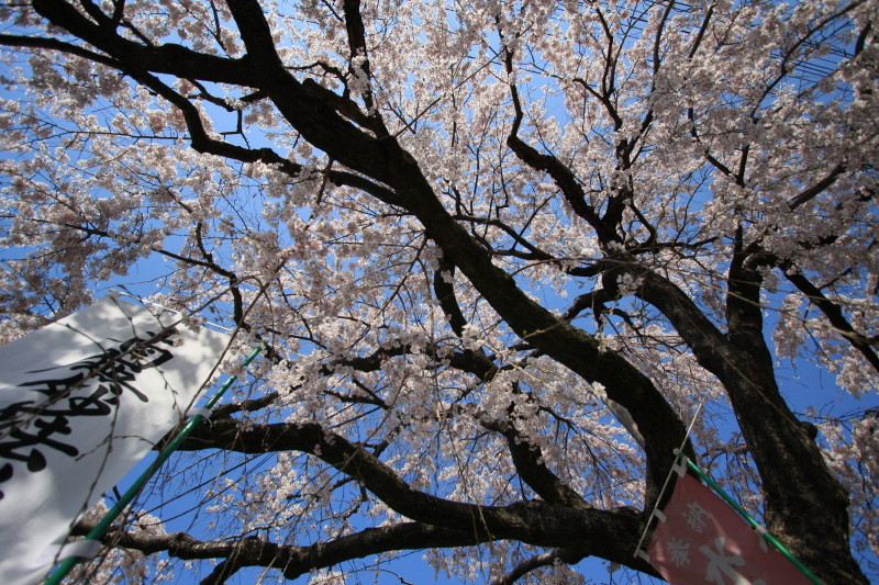 Let the Buddhist chant under the blossoms.