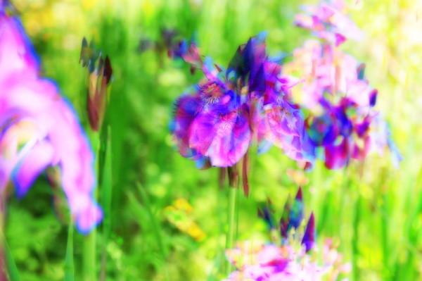 iris abstract #1