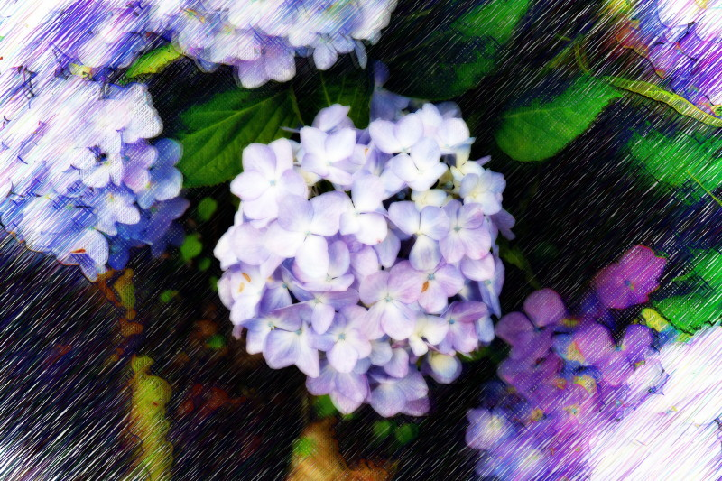 hydrangea in rain #4