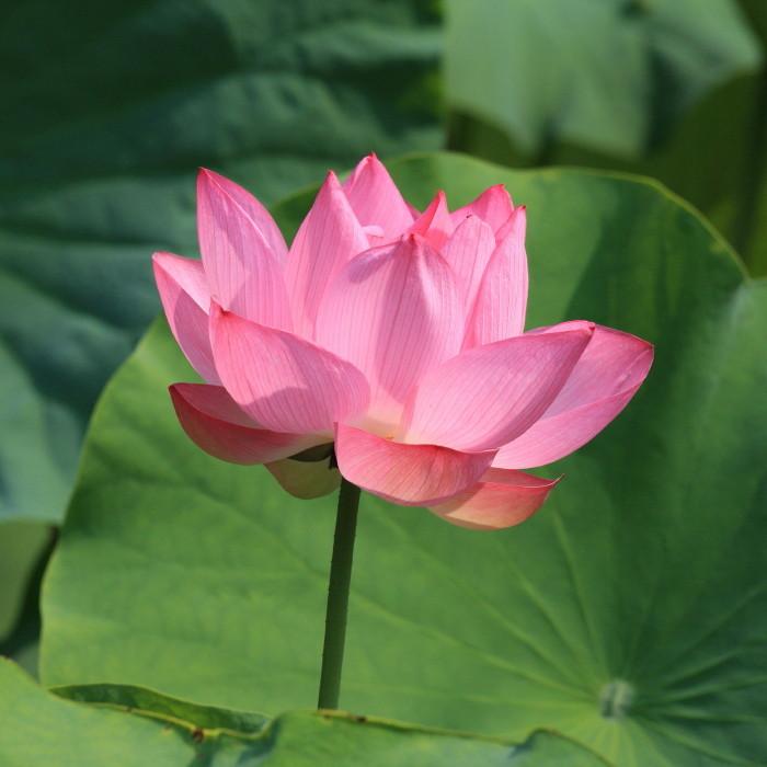 Lotus 花果同時 #1