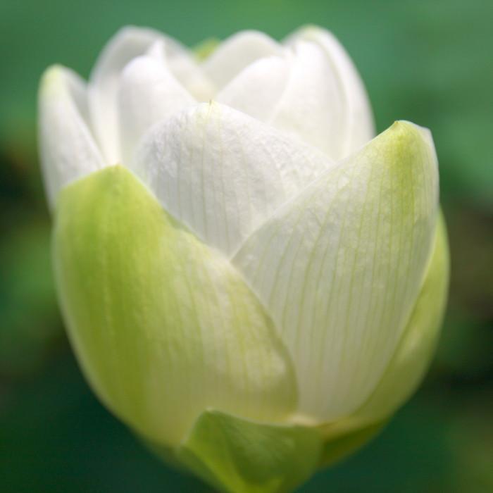 Lotus 花果同時 #7