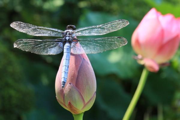Lotus 花果同時 #9