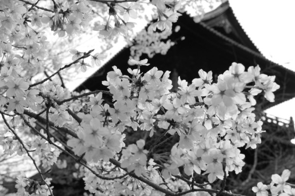 A big temple gate is looking down on blossoms.