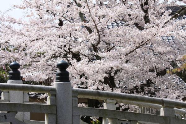 Bridge under fabulous blossoms