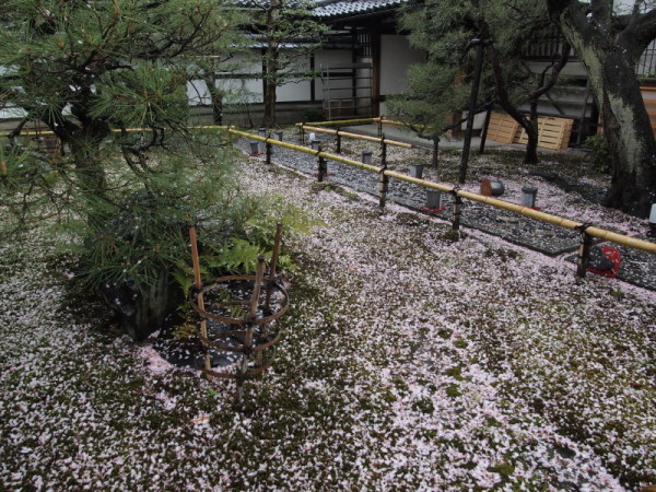 Bye bye cherry blossoms #3