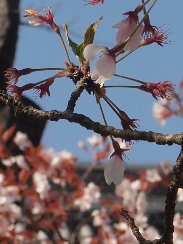 Bye bye cherry blossoms #4