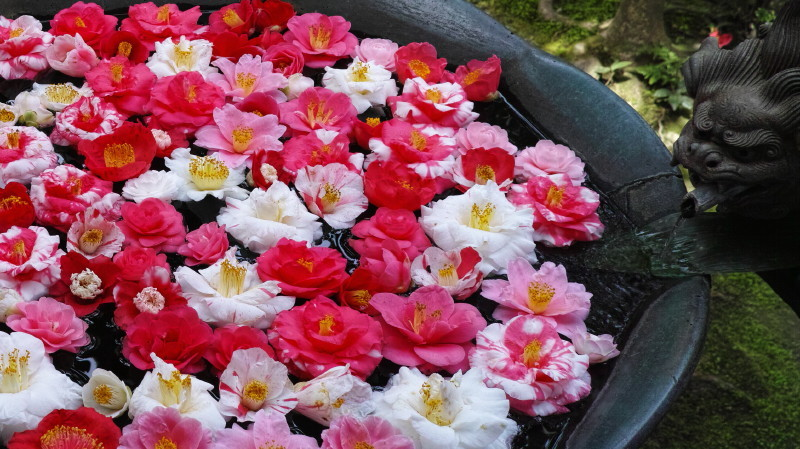 Bathing camellias