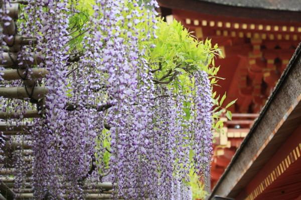 wisteria #1