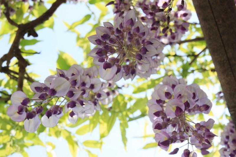 wisteria #3