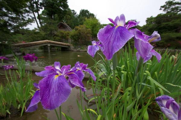 iris -with a bridge-