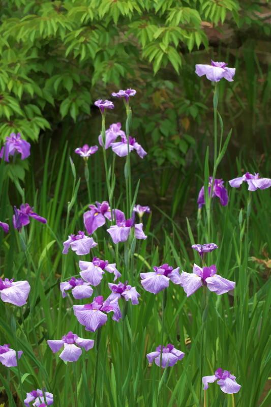 iris -in green-