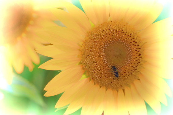 helianthus magic #1