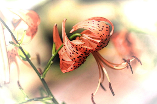 lilium magic