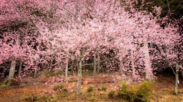 Cherry of Dream