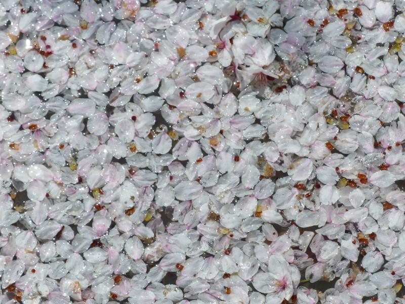 Good bye, cherry blossoms #2