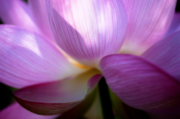 Softly as a morning lotus #1