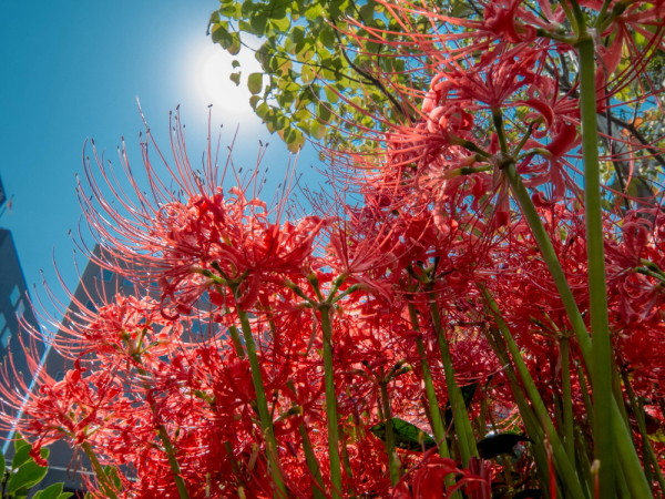 spider lily #3
