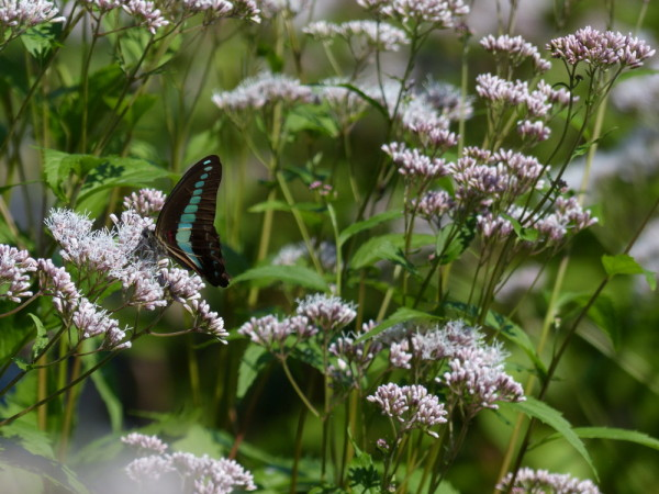 Blue-lined swallowtail #2