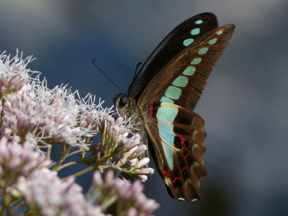 Blue-lined swallowtail #3