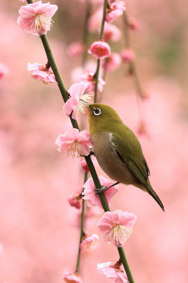 White eye loves sweet blossoms #1