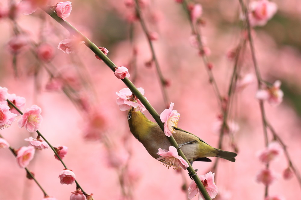 White-eye loves sweet blossoms #2