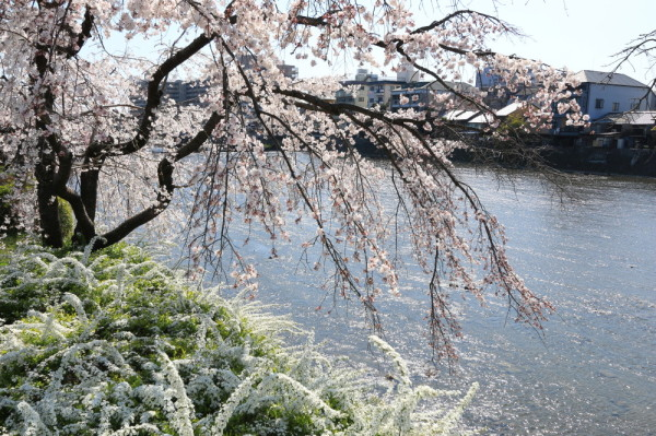 Cherry, river and spiraea