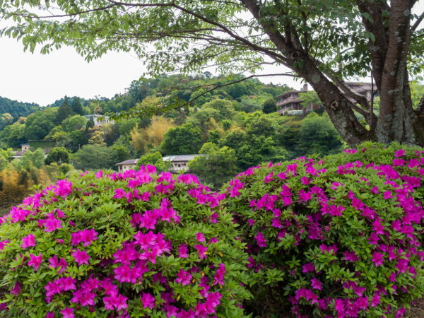 A day of azalea and mountain