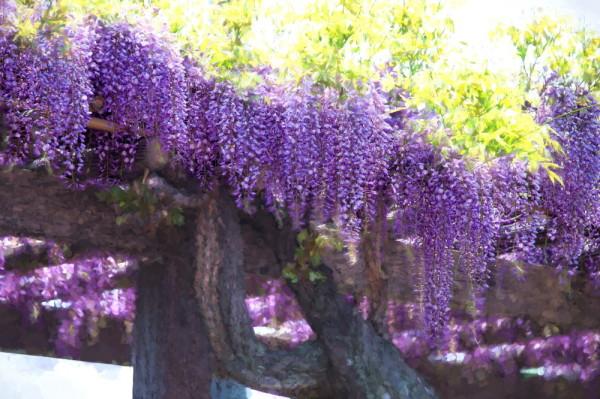 wisteria impressive #1