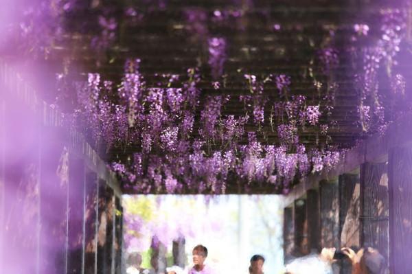 wisteria impressive #2