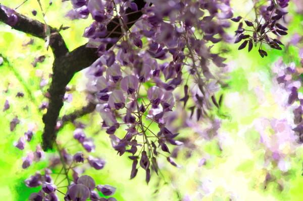 wisteria impressive #3