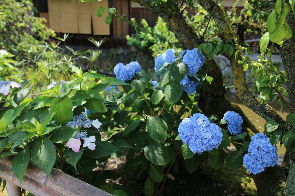 Hydrangea at riverside