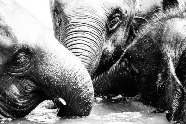 3 elephants in the pool