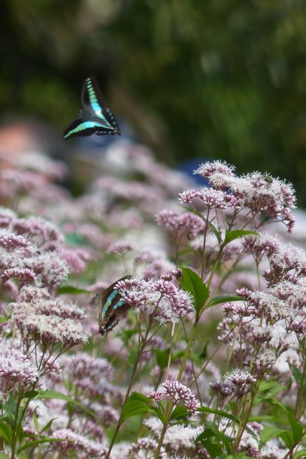 Butterflies love Fujibakama #2