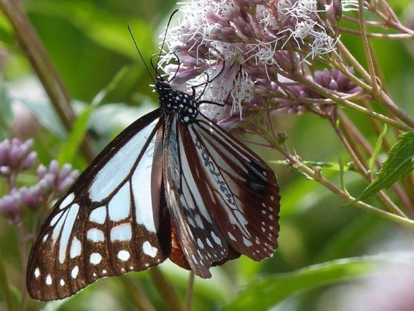 Butterflies love Fujibakama #4