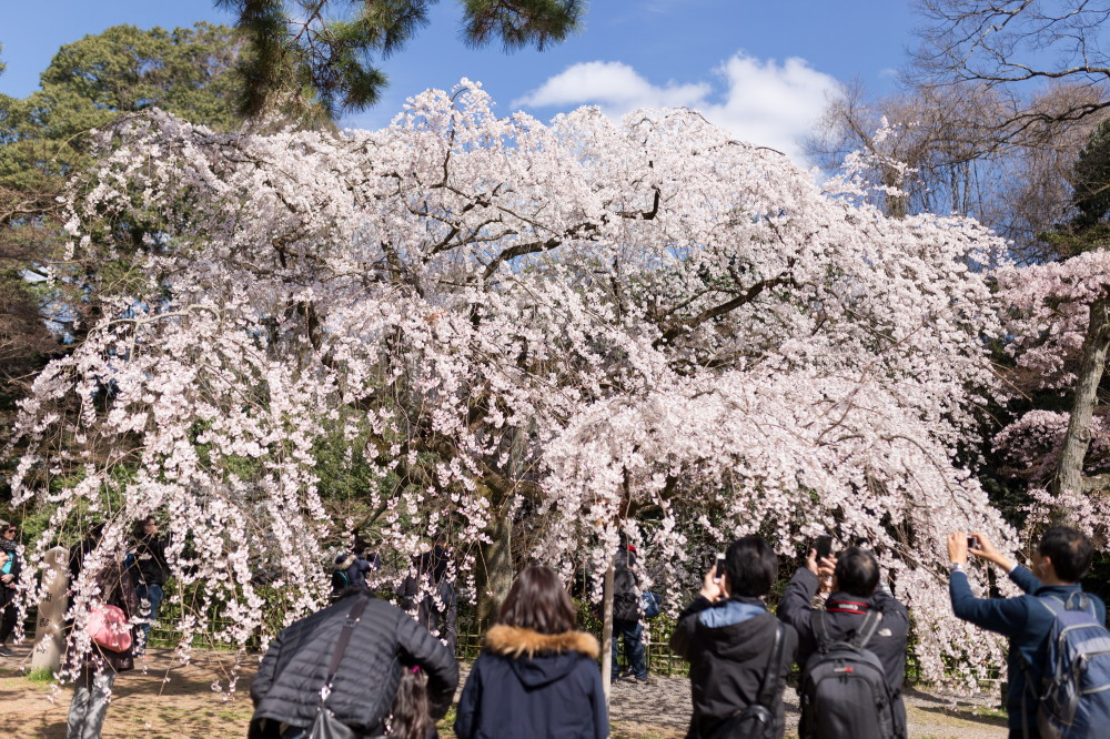 Cherry Blossom Viewing 2016 #2