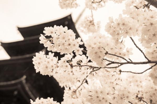 cherry and pagoda #2