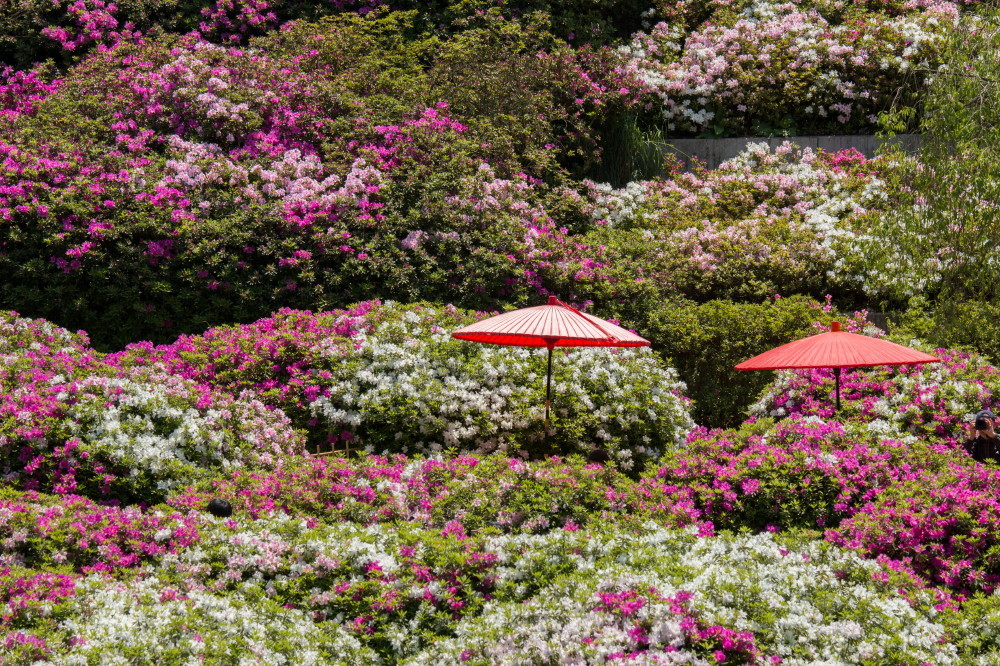 Azalea and parasols #1