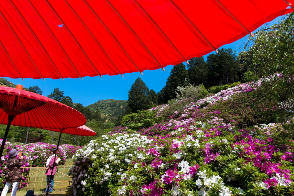 Azalea and parasols #2