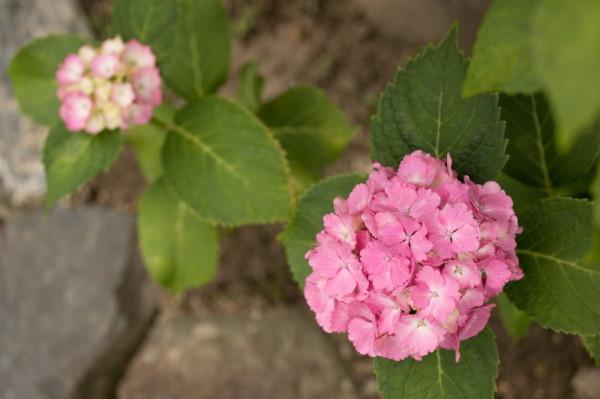 Rainy day my hydrangea will come #4