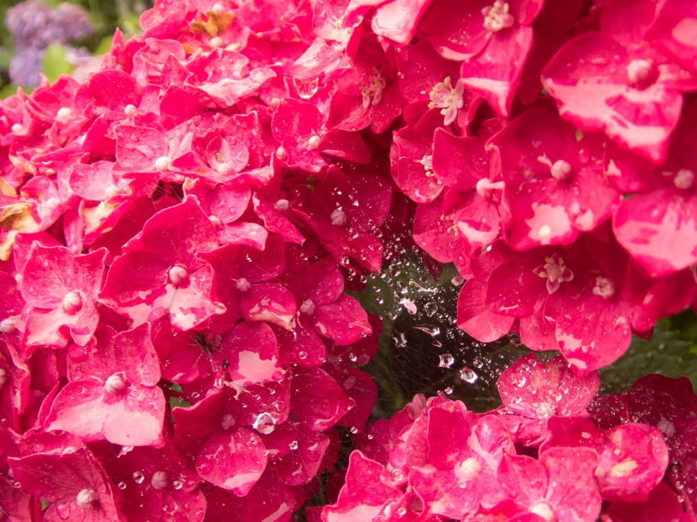 art of hydrangea #6