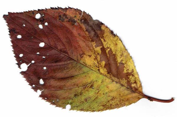 Scanned leaf #1