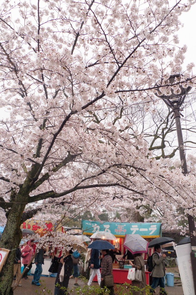 Sakura on a rainy day #1