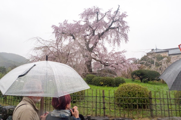 Sakura on a rainy day #2