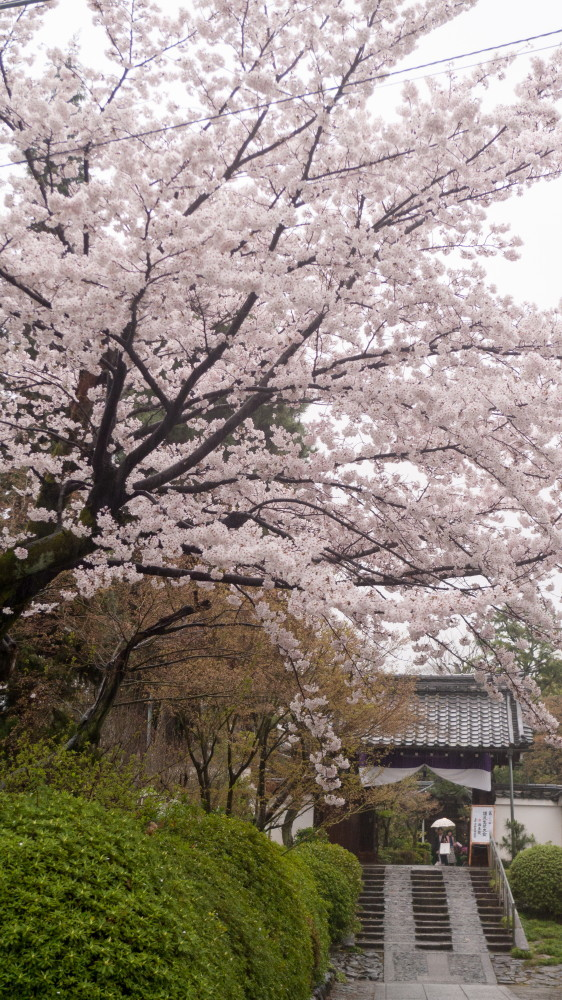 Sakura on a rainy day #4