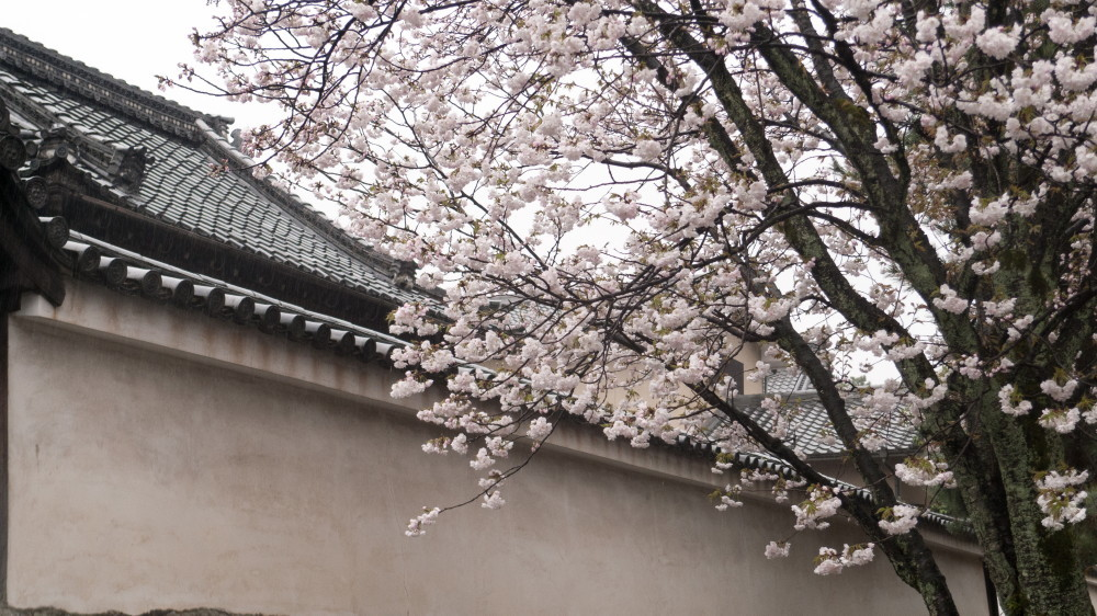 sakura and roof tiles #1