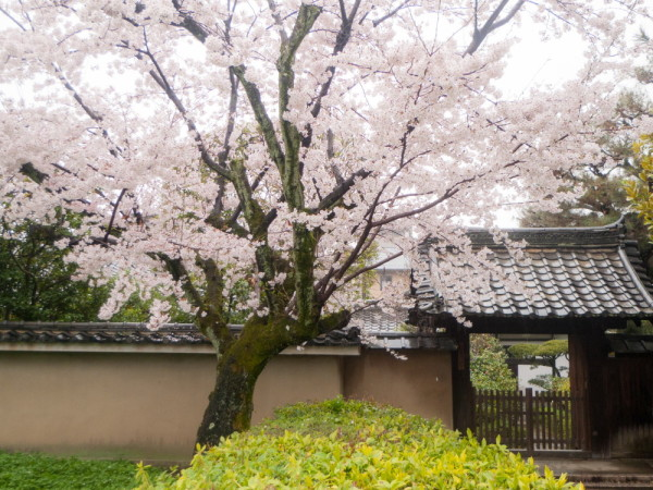 sakura and roof tiles #3